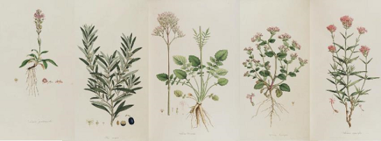 Ferdinand Bauer's illustrations from Flora Graeca (1803-40), a publication of the medicinal plants of Greece.